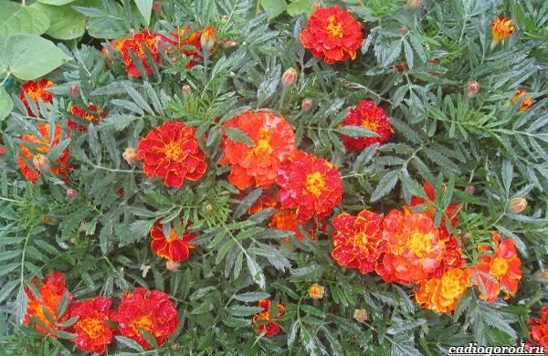 20-видов-красных-цветов-для-дома-и-дачи-53