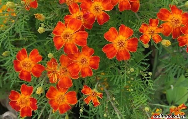 20-видов-красных-цветов-для-дома-и-дачи-54