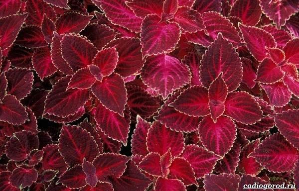 20-видов-красных-цветов-для-дома-и-дачи-63