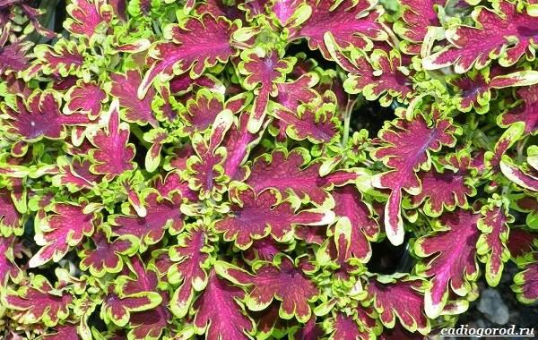 20-видов-красных-цветов-для-дома-и-дачи-64