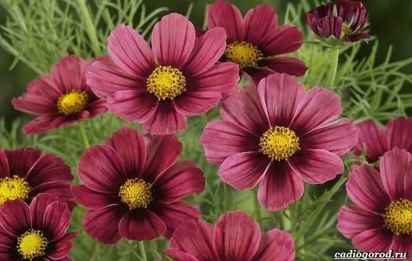 20-видов-красных-цветов-для-дома-и-дачи-69