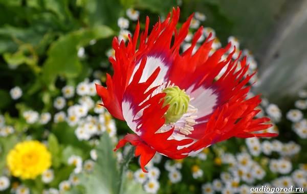 20-видов-красных-цветов-для-дома-и-дачи-7