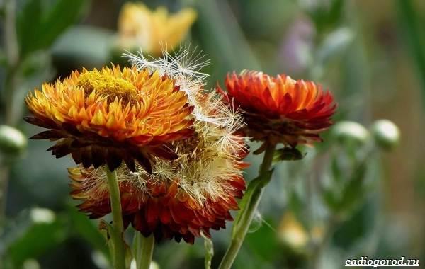 20-видов-красных-цветов-для-дома-и-дачи-70