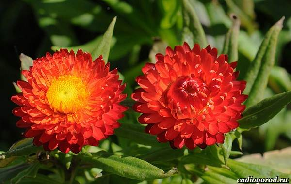 20-видов-красных-цветов-для-дома-и-дачи-73
