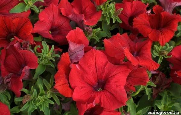 20-видов-красных-цветов-для-дома-и-дачи-74