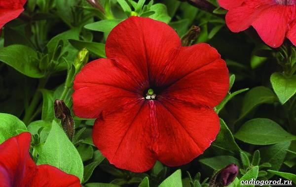 20-видов-красных-цветов-для-дома-и-дачи-75