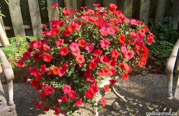 20-видов-красных-цветов-для-дома-и-дачи-76