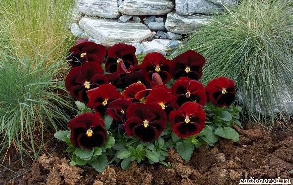 20-видов-красных-цветов-для-дома-и-дачи-78