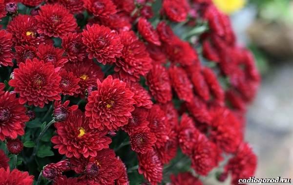 20-видов-красных-цветов-для-дома-и-дачи-81