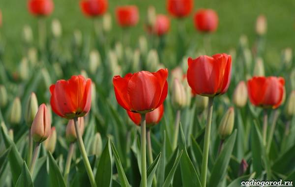 20-видов-красных-цветов-для-дома-и-дачи-82