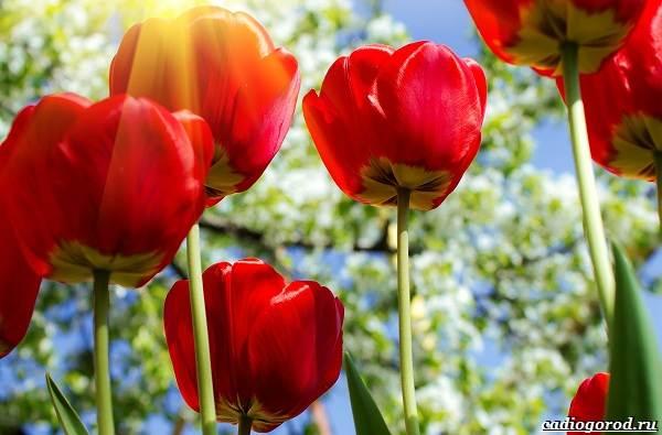 20-видов-красных-цветов-для-дома-и-дачи-83