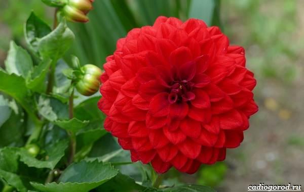 20-видов-красных-цветов-для-дома-и-дачи-84