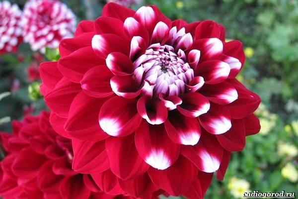 20-видов-красных-цветов-для-дома-и-дачи-85