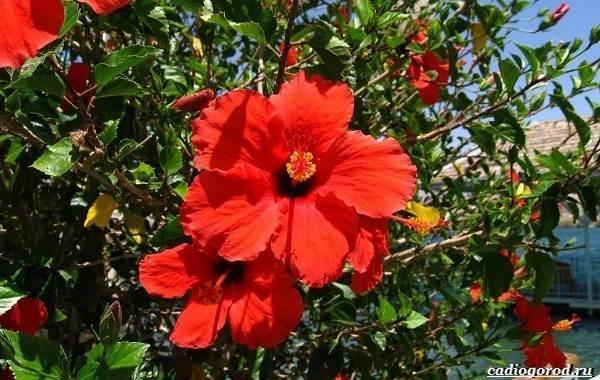 20-видов-красных-цветов-для-дома-и-дачи-87