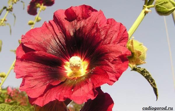 20-видов-красных-цветов-для-дома-и-дачи-93