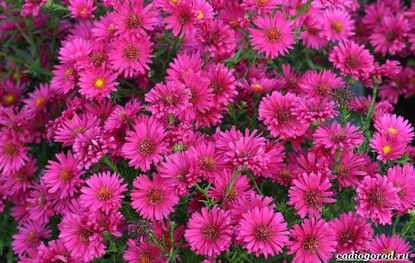 20-видов-красных-цветов-для-дома-и-дачи-94