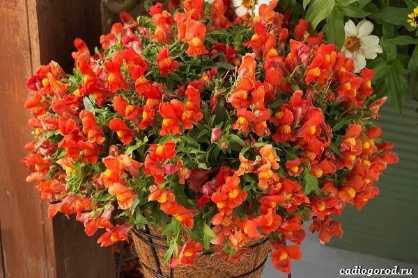 20-видов-красных-цветов-для-дома-и-дачи-95