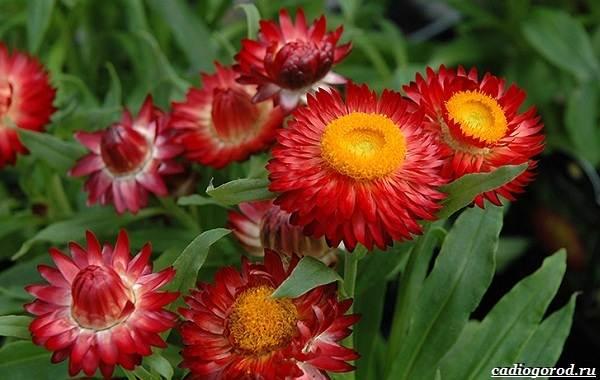 20-видов-красных-цветов-для-дома-и-дачи-97